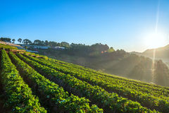 Sunrise at Strawberry garden at Doi Ang Khang Stock Images
