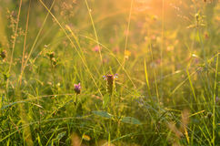 Sunrise in summer field Royalty Free Stock Photos