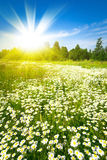 Sunrise on summer green field Royalty Free Stock Image