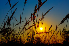 Sunrise on  summer wheat field with meadow grass Stock Images