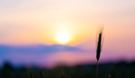Sunrise on the summer wheat Stock Photo