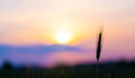 Sunrise on the summer wheat Stock Photo
