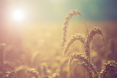 Sunrise on the summer wheat Stock Photos