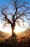 Sunrise sun behind oak tree in autumn Royalty Free Stock Photo