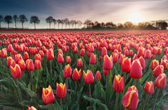 Sunrise sun over red tulip field in North Holland Royalty Free Stock Photo