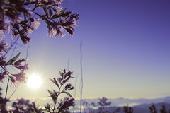 Sunrise sun seen through purple flowers Royalty Free Stock Photo