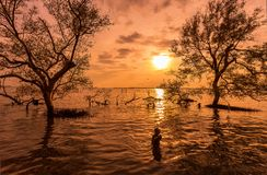 Sunrise / sun set asian fisherman work on mangrove forest royalty free stock images