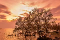 Sunrise / sun set asian fisherman work on mangrove forest royalty free stock image