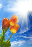 Sunrise  sun  sky   flowers  tulips Royalty Free Stock Photos