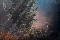 Sunrise sunbeams in misty forest Royalty Free Stock Image