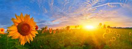 Sunrise sunflowers Royalty Free Stock Image