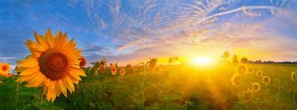 Sunrise sunflowers Royalty Free Stock Image