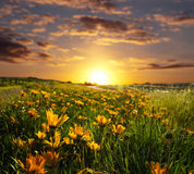 Sunrise or Sunset. Springtime with the sun rising or setting and a field of flowers Stock Photos