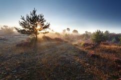 Sunrise sunshine through pine tree Stock Photography