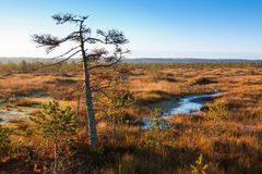 Sunrise swamp. Sunrise autumn swamp, wetland, single small pine tree Royalty Free Stock Images