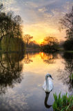 Sunrise swan Stock Image