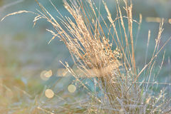 Sunrise Tall Grasses Glinting in the sun. Dew and water droplets glint in the early morning sun on tall grasses Stock Photography