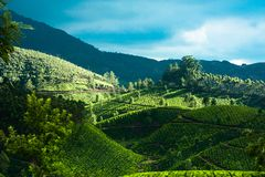 Sunrise at tea plantation. India, Munnar, Kerala Royalty Free Stock Image