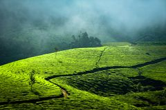 Sunrise at tea plantation. India, Munnar, Kerala Royalty Free Stock Photography