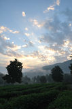 Sunrise. At the tea plantation.Thailand Royalty Free Stock Photo