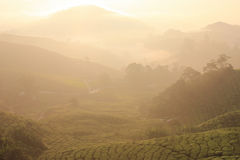 Sunrise at the tea plantation. Very beautiful light of nature Stock Images