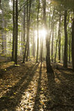 Sunrise throught the autumn woods Royalty Free Stock Photography