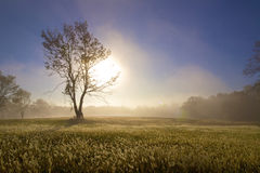 Sunrise Through Tree. With foggy field with dew on the grass Stock Photos
