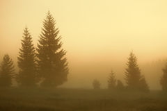 Sunrise with a view on the fir trees in fog Stock Photography