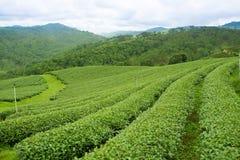 Sunrise view of tea plantation landscape at Chiangrai, Thailand Royalty Free Stock Image