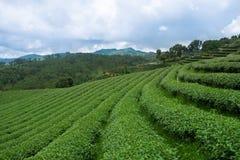 Sunrise view of tea plantation landscape at Chiangrai, Thailand Stock Photography