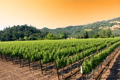Sunrise at a vineyard in Napa, California royalty free stock photography