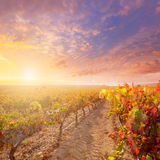 Sunrise in vineyard at Utiel Requena vineyards spain Royalty Free Stock Photo