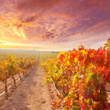 Sunrise in vineyard at Utiel Requena vineyards spain Royalty Free Stock Photos