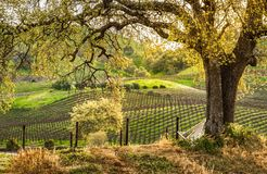 Sunrise on Vineyards. Sunrise over golden vineyards in California Royalty Free Stock Photography