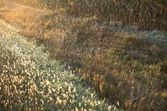 Sunrise Weeds. These are the weeds in the ditch at sunrise royalty free stock images