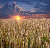 Sunrise among a wheat fields Royalty Free Stock Photos
