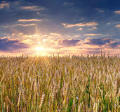 Sunrise among a wheat fields Royalty Free Stock Image