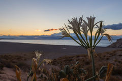 Sunrise wild flowers on Platja del Torn, Tarragona, Spain Royalty Free Stock Image