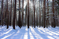 Sunrise in a winter forest. Royalty Free Stock Images