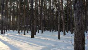 Sunrise in the winter forest.  stock footage