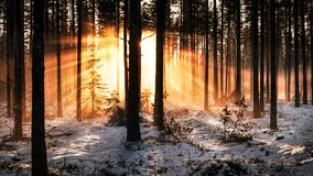 Sunlight coming through of tree in the forest. Sunrise in the winter forest and lightbeams come through trees Royalty Free Stock Image