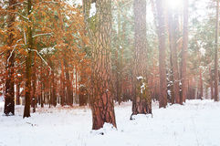 Sunrise in winter forest Royalty Free Stock Images