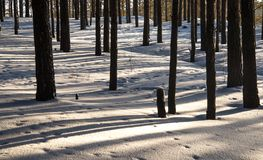 Sunrise in a winter forest. Tree trunks in the winter forest, long shadows on the snow royalty free stock photo