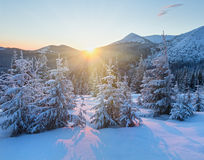 Sunrise winter mountain landscape with fir trees. Stock Images