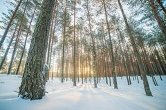 Sunrise in winter pine forest. Winter sunrise in snowy Europe forest, tall pine trees stock photos