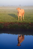 Sunrise With Morning Dew And Cow Stock Image