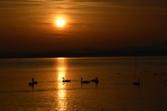 Sunrise. Wonderful sunrise in Germany on lake in the Alps region Bayern with swan swimming Royalty Free Stock Photos