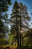 Sunrise in Yosemite National Park. Trees at sunrise in Yosemite Valley, Yosemite National Park Stock Photography