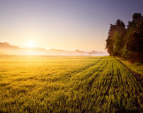 Sunrise on young rye field Stock Photos