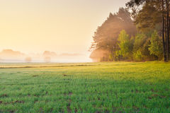 Sunrise on young rye field Royalty Free Stock Photography